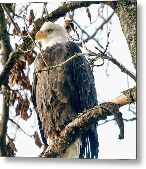 Eagle Metal Print featuring the photograph Eagle In A Tree by Clarence Alford