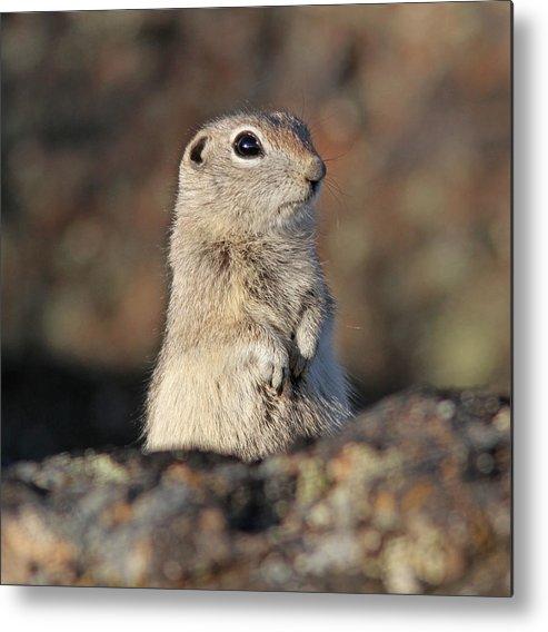 Belding Ground Squirrel Metal Print featuring the photograph Belding Ground Squirrel by Gary Wing