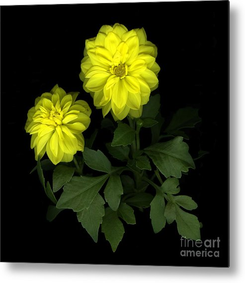 Yellow Metal Print featuring the photograph Dahlia by Christian Slanec