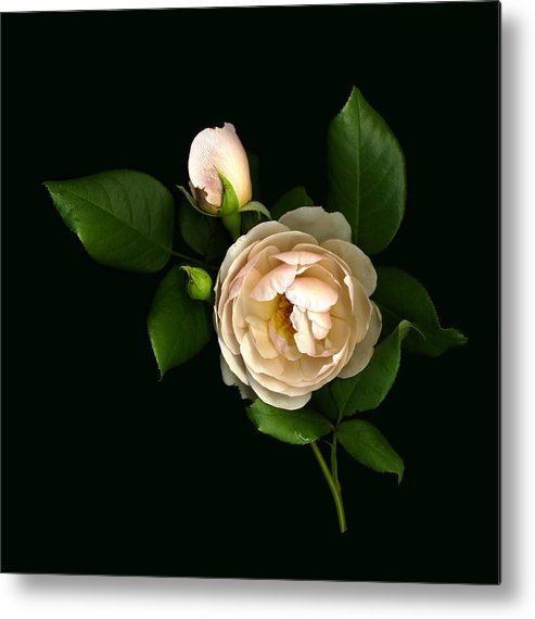 Scanography Metal Print featuring the photograph Morning Rose Buds by Deborah J Humphries