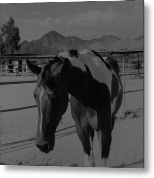 Black And White Metal Print featuring the photograph Mr Ed In Black And White by Rob Hans