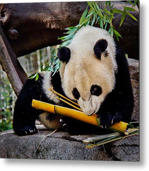 Animals Metal Print featuring the photograph Panda Bear by Robert Bales