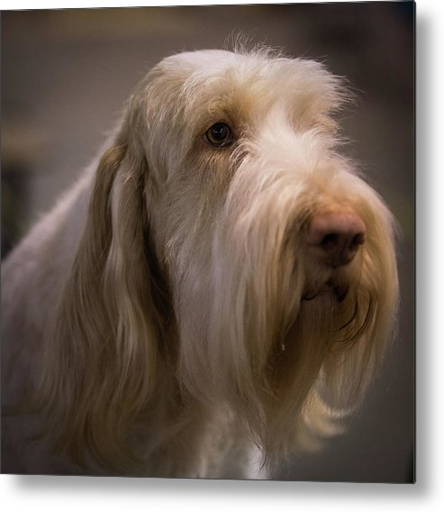 Spinone Metal Print featuring the photograph Ready by Jeff West