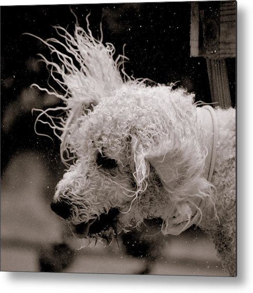 Dod Metal Print featuring the photograph Shake-a-doodle by Trudi Southerland