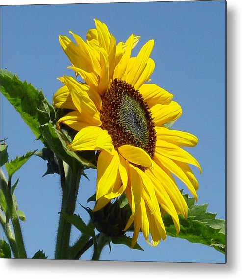 Sunflower Metal Print featuring the photograph Sun Goddess by Suzanne Gaff