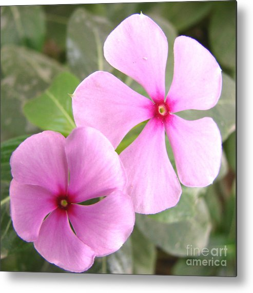 Rosy Periwinkle Metal Print featuring the photograph Two Flowers- Rosy Periwinkle by Shariq Khan