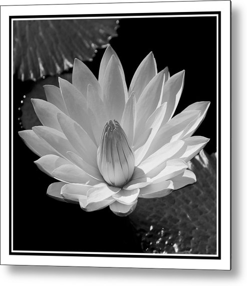 Water Lilly Flower Pad Black White Metal Print featuring the photograph Water Lilly by William Haney