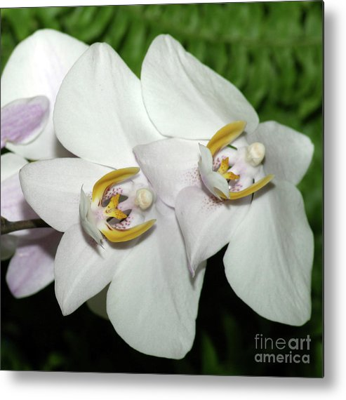 Orchid Metal Print featuring the photograph White Orchid by Wally Franiel