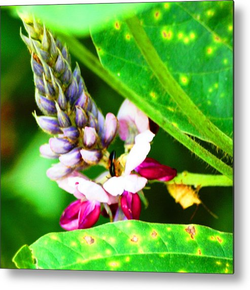 Flower Metal Print featuring the photograph Kudzoo Flower by Lisa Johnston