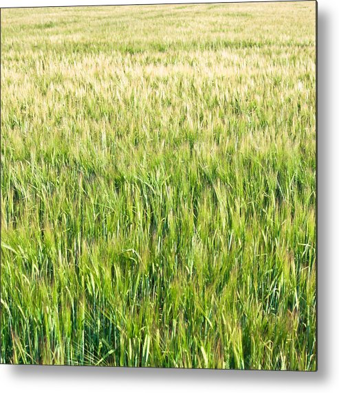 Agriculture Metal Print featuring the photograph Barley by Tom Gowanlock