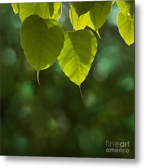 Autumn Metal Print featuring the photograph Pho Or Bodhi by Atiketta Sangasaeng