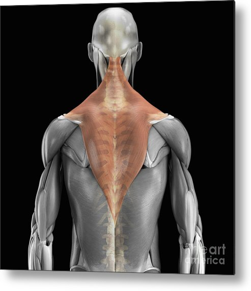 3d Visualisation Metal Print featuring the photograph Trapezius Muscle With Skeleton by Science Picture Co