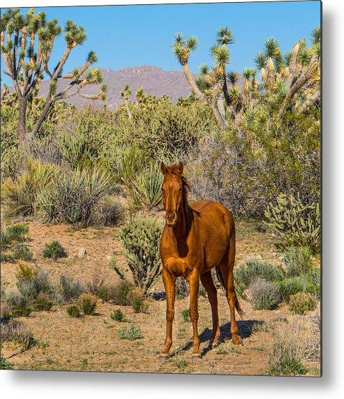 Wild Metal Print featuring the photograph Wild Horse Of Joshua Tree by Wolfgang Hauerken