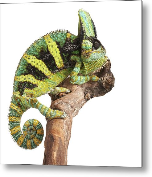 Indoors Metal Print featuring the photograph Veiled Chameleon by Science Photo Library