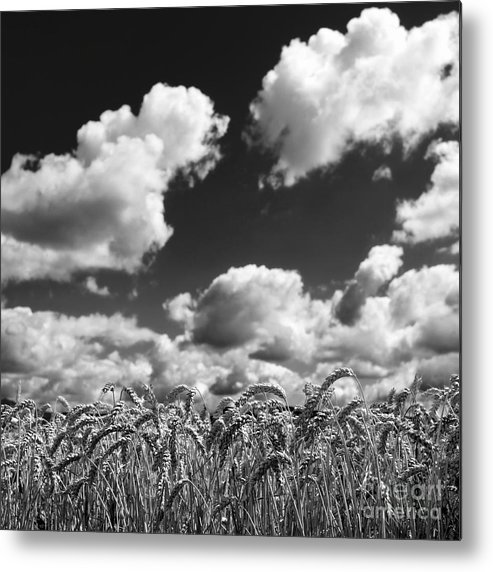 Wheat Metal Print featuring the photograph A Field Of Wheat . Limagne. Auvergne. France by Bernard Jaubert