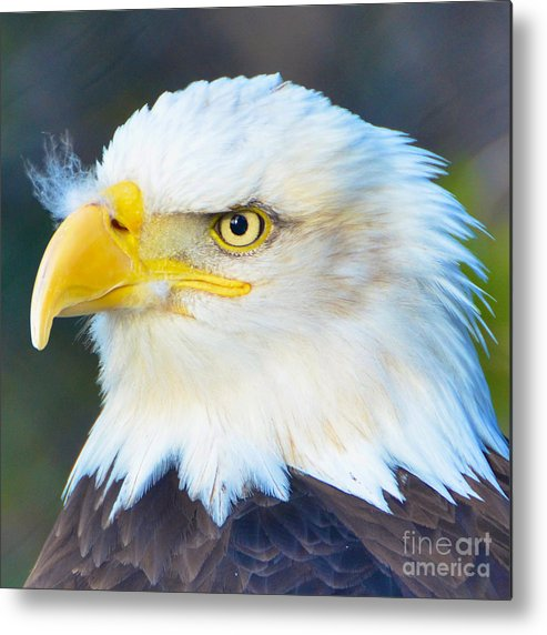 Bald Metal Print featuring the photograph Bald Eagle by Jason Waugh