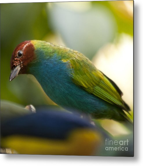 Tanager Metal Print featuring the photograph Bay-headed Tanager - Tangara Gyrola by Heiko Koehrer-Wagner