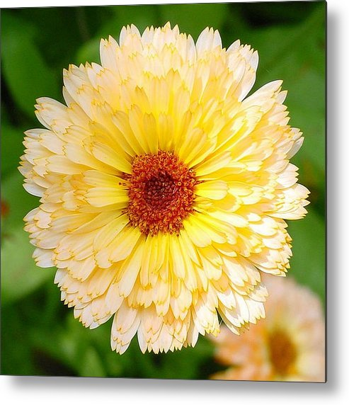 Flower Metal Print featuring the photograph Beautiful Yellow Marigold Goldbloom Close Up by Taiche Acrylic Art