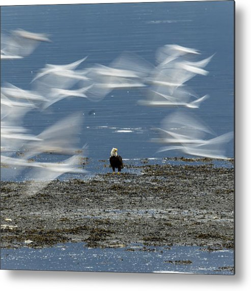 Sea Gulls Metal Print featuring the photograph Birds In Flight by Tom Slater