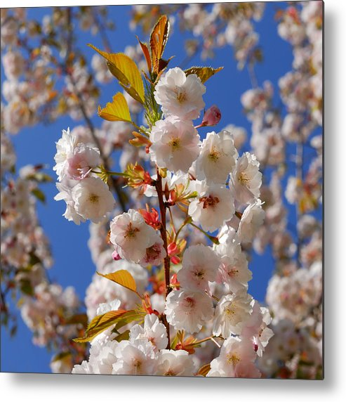 Sky Metal Print featuring the photograph Blooming Trees by TouTouke A Y