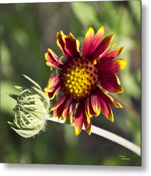 Flower Metal Print featuring the photograph Bud Plus One by Teresa Dixon