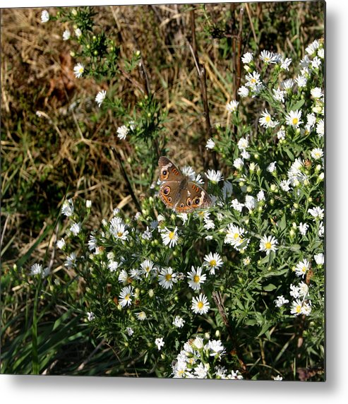Square Metal Print featuring the photograph Butterfly On White Flowers by Nina Fosdick