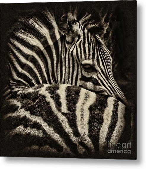 Zebra Metal Print featuring the photograph Comfort by Andrew Paranavitana
