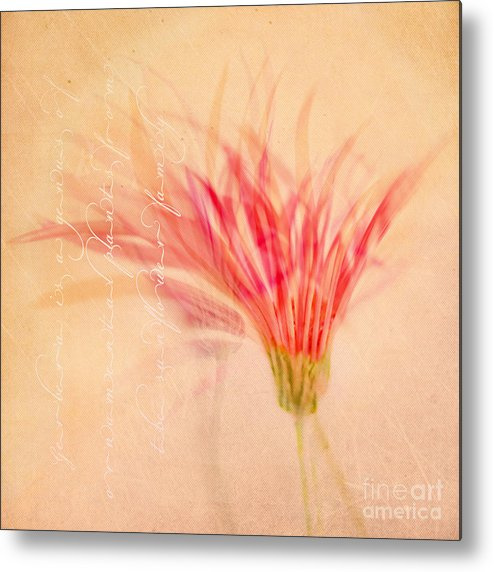 Gerbera Flower Metal Print featuring the photograph Daintiness by Linde Townsend