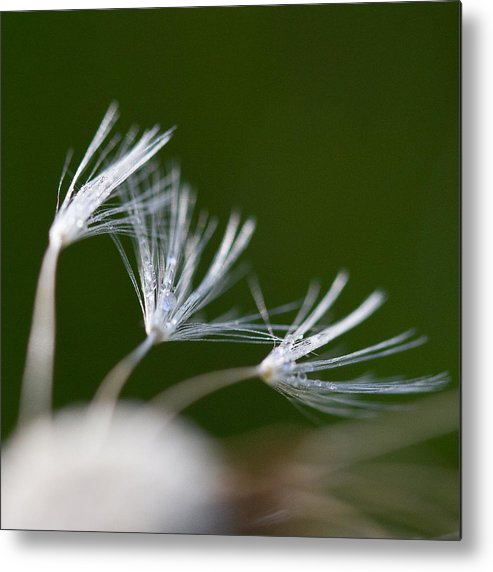 Dandelion Metal Print featuring the photograph Dandelion Seeds by Thomas Parsons