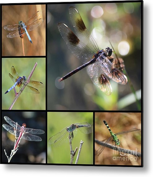 Dragonfly Metal Print featuring the photograph Dragonflies On Twigs Collage by Carol Groenen