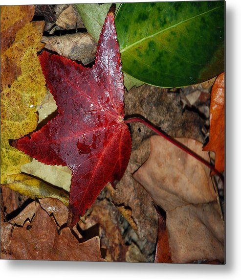 Fall Metal Print featuring the photograph Fall Leaves 2 by Skip Willits