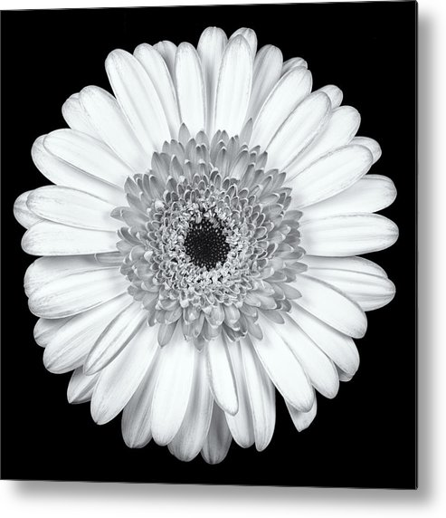 3scape Metal Print featuring the photograph Gerbera Daisy Monochrome by Adam Romanowicz