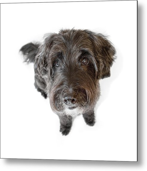 Dog Metal Print featuring the photograph Hairy Dog Photographic Caricature by Natalie Kinnear