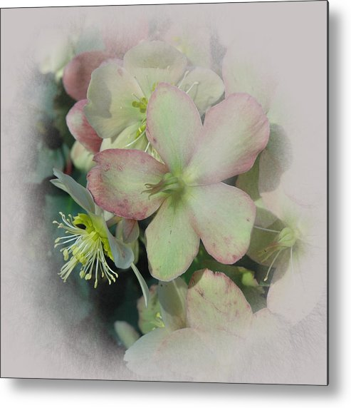 Hellebore Metal Print featuring the photograph Hellebores1 by Jeff Burgess