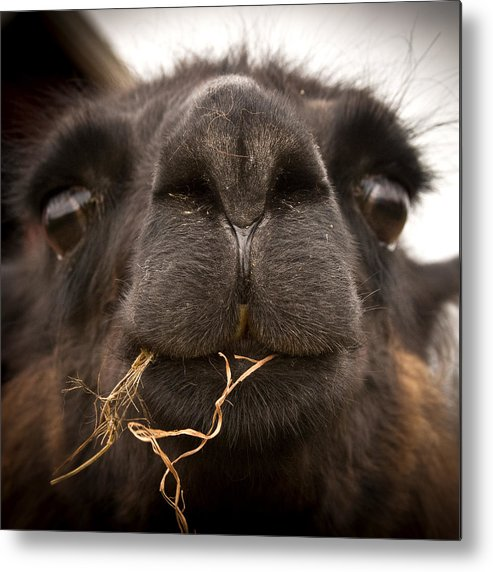 Animals Metal Print featuring the photograph Llama Floss by Barbara Northrup