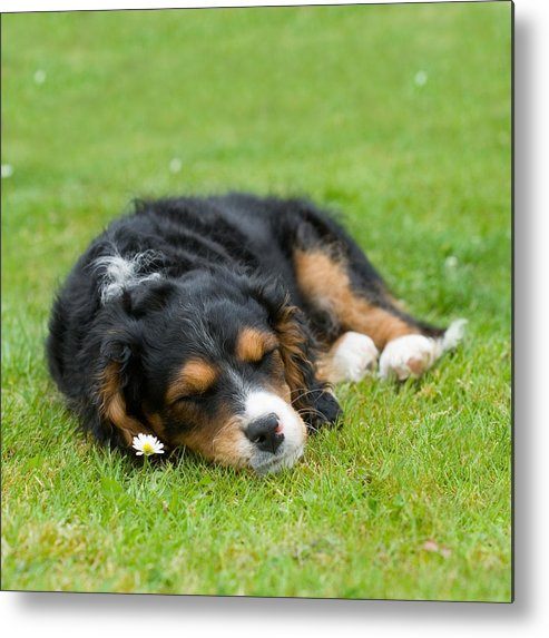 Pup Metal Print featuring the photograph Puppy Asleep With Garden Daisy by Natalie Kinnear