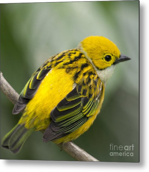 Tanager Metal Print featuring the photograph Silver-throated Tanager - Tangara Icterocephala by Heiko Koehrer-Wagner