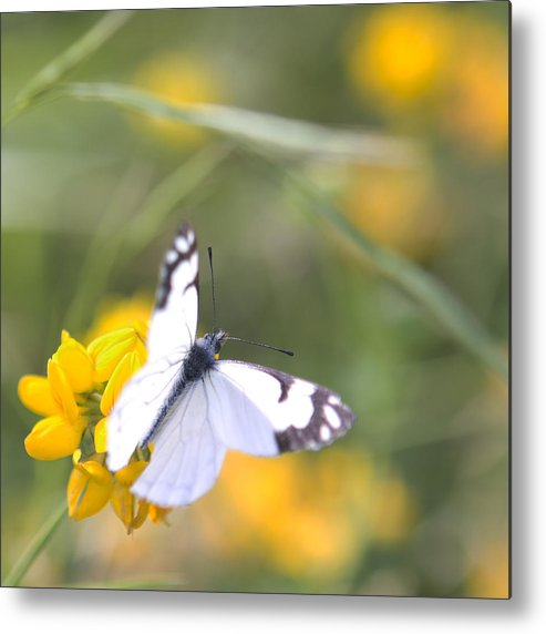 Nature Metal Print featuring the photograph Small White Butterfly On Yellow Flower by Belinda Greb