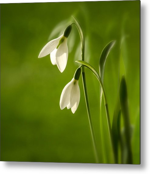 Background Metal Print featuring the photograph Snowdrop by TouTouke A Y