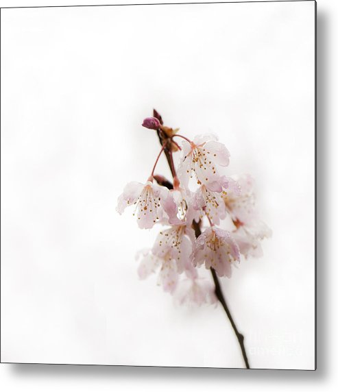 Floral Metal Print featuring the photograph Soft Cherry Plum by Anne Gilbert