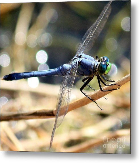 Dragonfly Metal Print featuring the photograph Sunning Blue Dragonfly Square by Carol Groenen