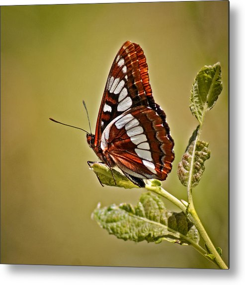 Bugs Metal Print featuring the photograph The Butterfly by Ernie Echols