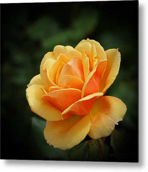 Beautiful Metal Print featuring the photograph The Rose 1 by Ernie Echols