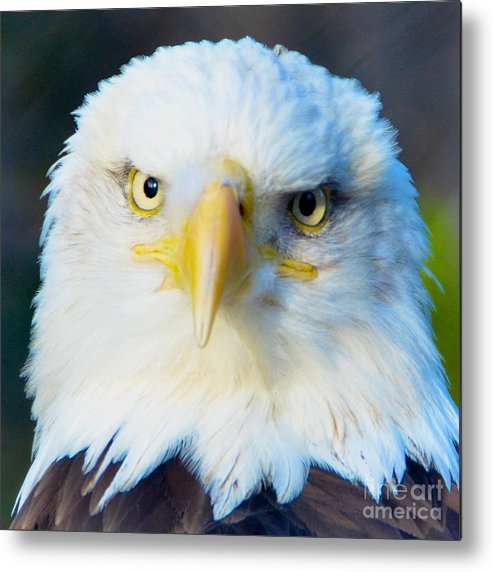 Bald Metal Print featuring the photograph The Stare Down by Jason Waugh