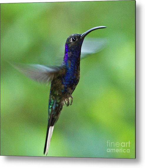 Violet Sabrewing Hummingbird Metal Print featuring the photograph Violet Sabrewing Hummingbird by Heiko Koehrer-Wagner