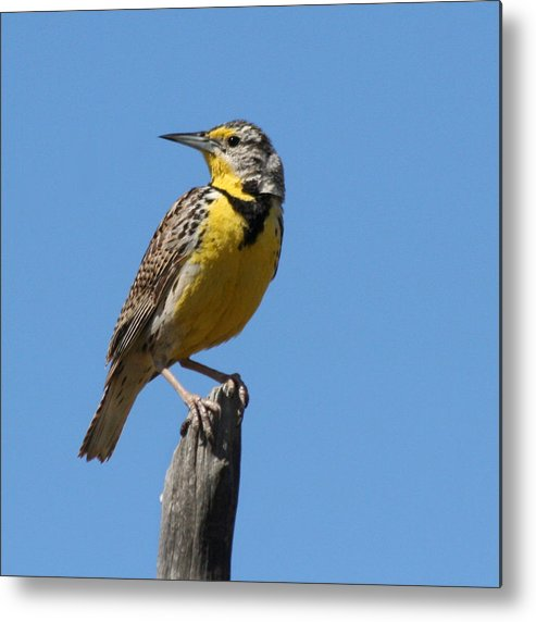 Lark Metal Print featuring the photograph Western Meadowlark Perching by Bob and Jan Shriner