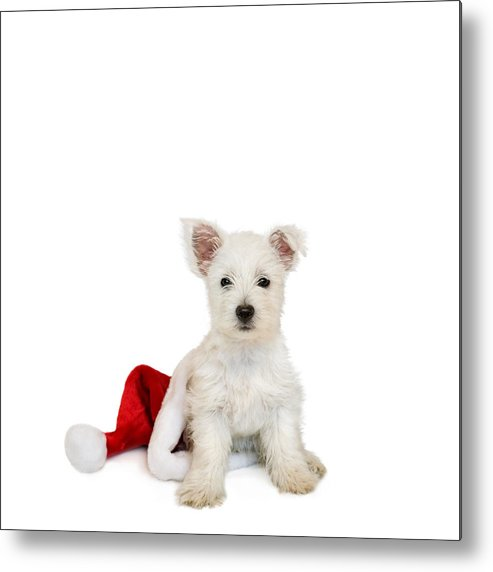 Photo Metal Print featuring the photograph Westie Puppy And Santa Hat by Natalie Kinnear