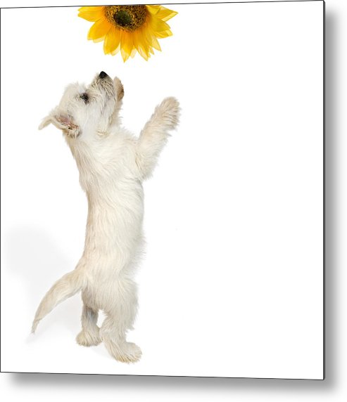 Photo Metal Print featuring the photograph Westie Puppy And Sunflower by Natalie Kinnear