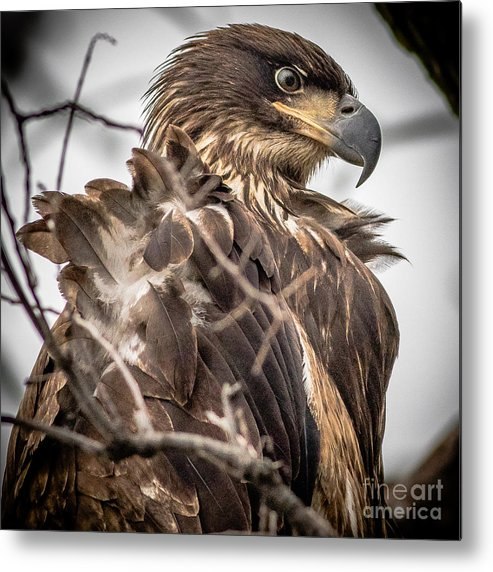 Bald Eagle Metal Print featuring the photograph Whats A Little Wind..... by Rudy Viereckl