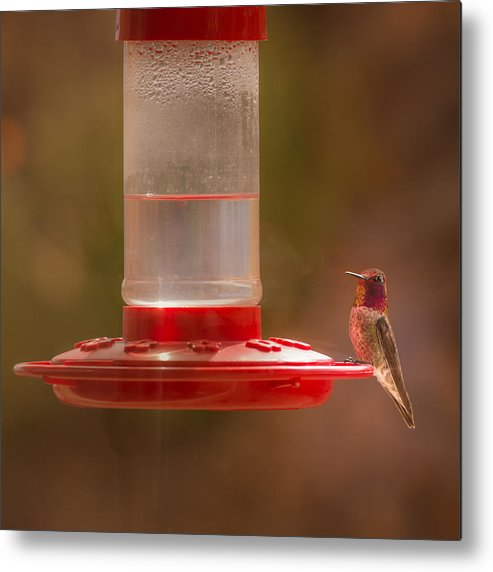 Anna's Hummingbird Metal Print featuring the photograph Who Is Watching Who by Onyonet Photo Studios